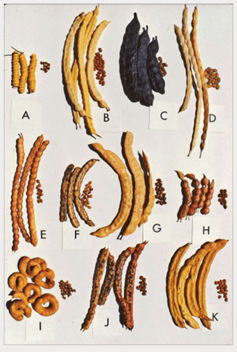 11 different types of carob, long lumpy beans and next to each variety a small pile of seeds